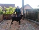 CANE CORSO odrasli psi