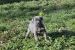 Cane Corso, prelepi štenci