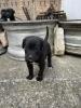 Cane Corso štenci, crne boje