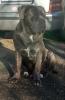 Cane Corso štenci od vrhunskih roditelja