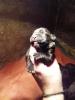 Cane Corso, štenci šampionskog porekla