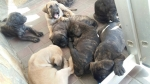 Cane corso štenci