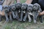 Cane Corso, štenci