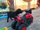 Cane Corso TOP štene na prodaju