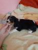 Cavalier king charles spaniel preslatki mali štenci