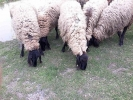 Cigaja ovce,ovnovi i jagnjad