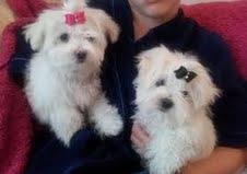 čista pasmina i čiste bijele Malteški štenci dolaze na usvaj