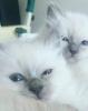 Čistokrvni mačići SVETA BIRMA