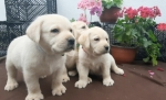 Čistokrvni štenci labradora