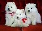 Čistokrvni štenci SAMOJEDA