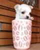 Čivava i patuljasti pinč štenci na prodaju