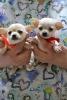 Čivava prelepi štenci