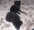 Crni nemački ovčar, štenci