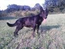 Crni nemački ovčar
