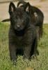 Crni Nemacki ovcari