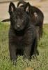 Crni nemački ovčari