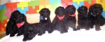 Crni Ruski terijer štenci