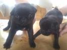 Crno muško štene MOPSA
