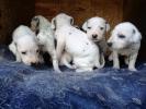 Dalmatinac, štenci