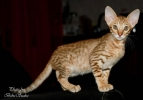 Divinity Savannahs macici