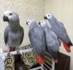 divne, zaigrane, afro-sive papige