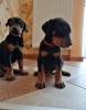 Doberman i rotvajler štenci na prodaju