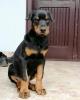 Doberman muško štene