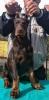 Doberman, prvobirano muško štene