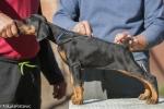 Doberman štenci vrhunskog kvaliteta