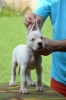 Dogo Argentino, štenci