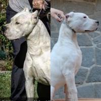Dogo argentino vrhunski štenci