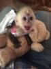 Dostupan lijepi majmun kapucin