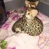 Dostupni mačići savana karakal ocelot serval bengal