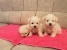 Dostupni štenci MALTEZERA oba pola
