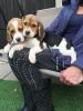 Dva Beagle šteneta