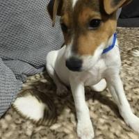Džek Rasel Terijer, muško štene