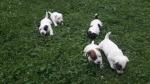 Džek Rasel Terijer, štenci