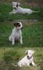 Džek rasel terijer štenci