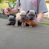 Egzotični FRANCUSKI BULDOG štenci