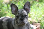 Egzotični štenci francuskog buldoga