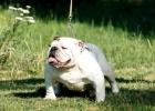 Engleski buldog, mladi psi