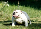 Engleski buldog,muzjak i zenka,mladi psi