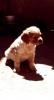 Epanjel breton, štenci