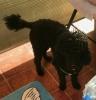 Francuska patuljasta pudlica, ženski štenci