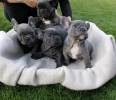 Francuski buldog blue štenci