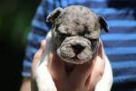 Francuski buldog egzotični vrhunski štenci
