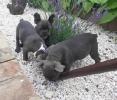 Francuski buldog, kučići plave boje