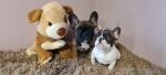 Francuski buldog muško štene