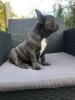 Francuski buldog plavo štene
