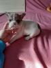 Francuski buldog preslatki štenci